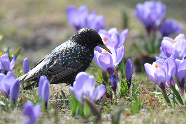 A starling walks among crocuses in one o