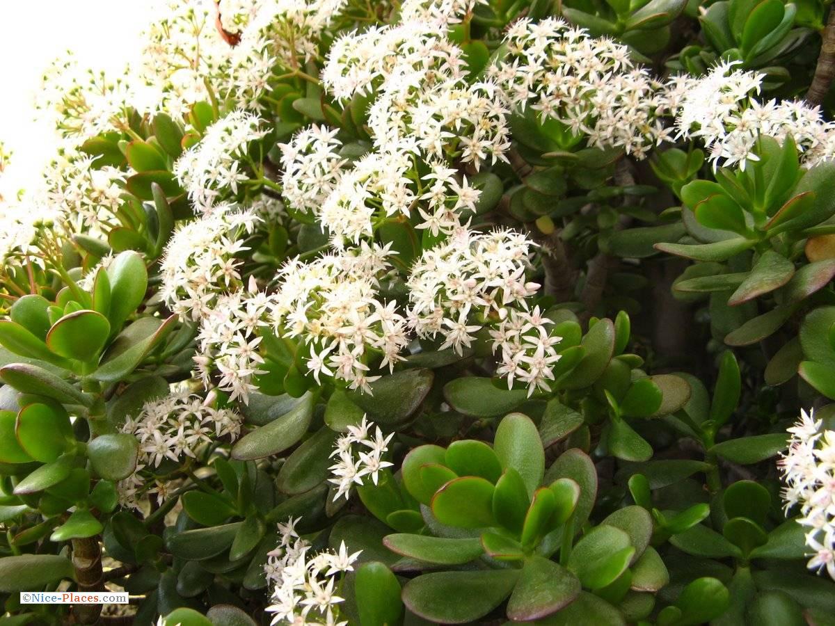 Денежное дерево цветка