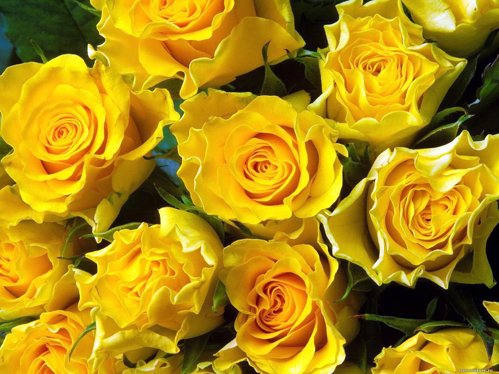 троянди4